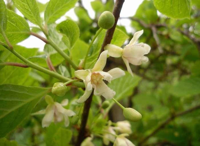 Лимонник китайский цветение фото.