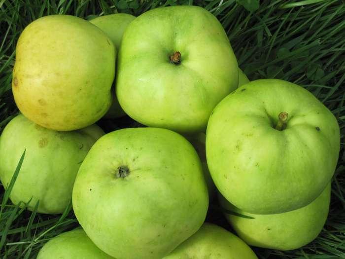 Сорта яблок зимостойкие. Сорт Антоновка обыкновенная