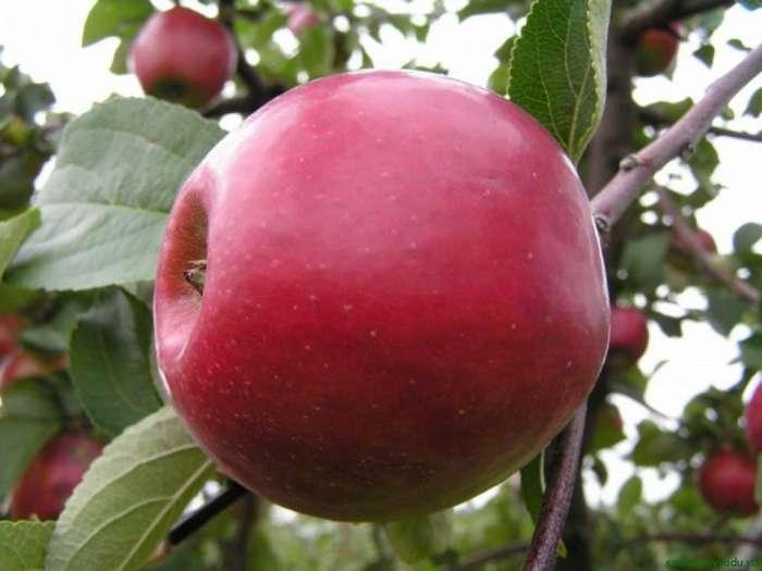 Зимостойкий сорт яблок Брусничное