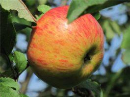Сорта яблок зимостойкие. Сорт Медуница