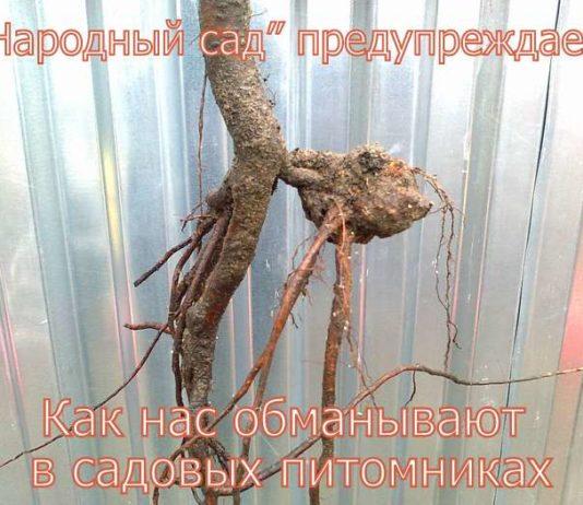 ОБМАН В САДОВЫХ ПИТОМНИКАХ. Фото 1