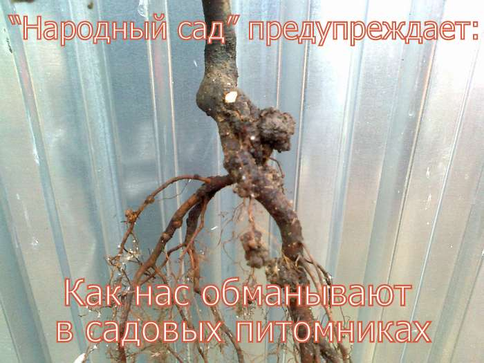 ОБМАН В САДОВЫХ ПИТОМНИКАХ. Фото 2