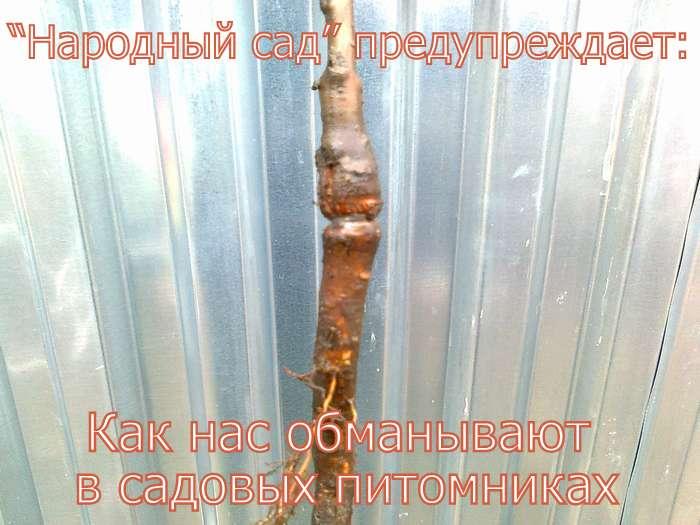 ОБМАН В САДОВЫХ ПИТОМНИКАХ. Фото 3