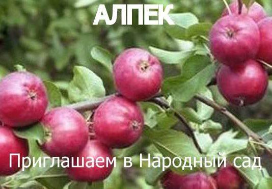 СОРТ ЯБЛОК АЛПЕК - описание, фото
