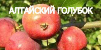 СОРТ ЯБЛОК АЛТАЙСКИЙ ГОЛУБОК - описание, фото