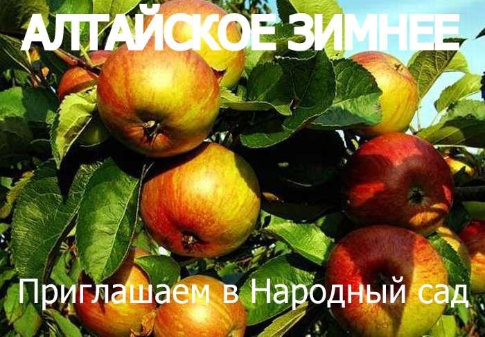 СОРТ ЯБЛОК АЛТАЙСКОЕ ЗИМНЕЕ - описание, фото