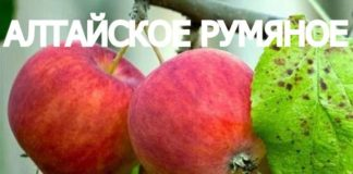 СОРТ ЯБЛОК АЛТАЙСКОЕ РУМЯНОЕ - описание, фото