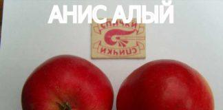 СОРТ ЯБЛОК АНИС АЛЫЙ - описание, фото