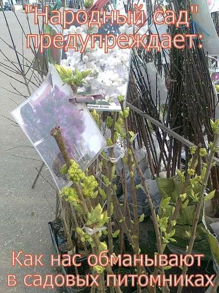 ОБМАН В САДОВЫХ ПИТОМНИКАХ. Фото 7