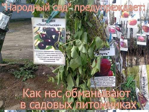 ОБМАН В САДОВЫХ ПИТОМНИКАХ. Фото 8