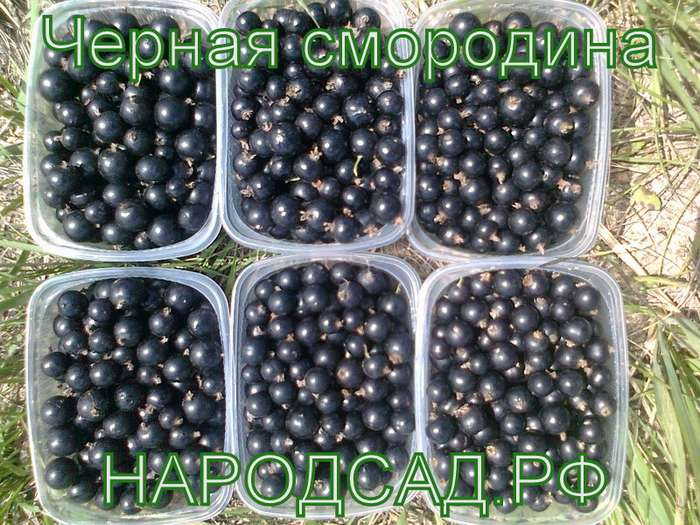Свежезамороженную черную смородину купить в Москве