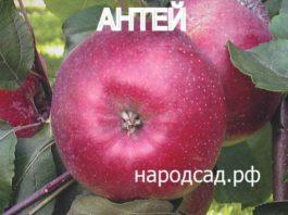 СОРТ ЯБЛОК АНТЕЙ - фото