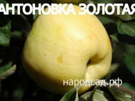 СОРТ ЯБЛОК АНТОНОВКА ЗОЛОТАЯ - описание, фото