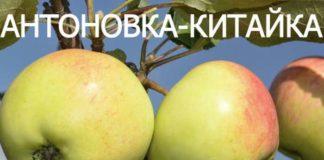 СОРТ ЯБЛОК АНТОНОВКА-КИТАЙКА - описание, фото