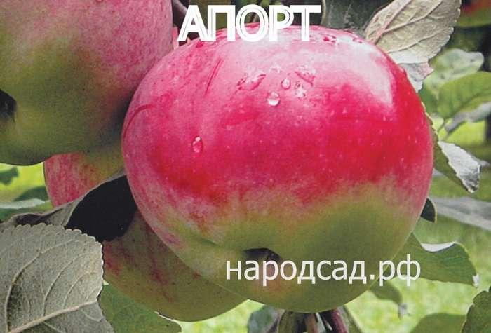 СОРТ ЯБЛОК АПОРТ - описание, фото