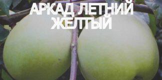 СОРТ ЯБЛОК АРКАД ЛЕТНИЙ ЖЕЛТЫЙ - описание, фото