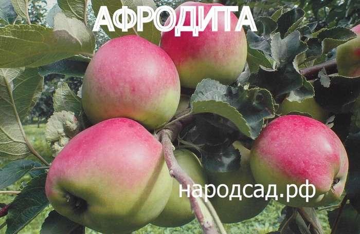 СОРТ ЯБЛОК АФРОДИТА - описание, фото