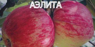 СОРТ ЯБЛОК АЭЛИТА - описание, фото