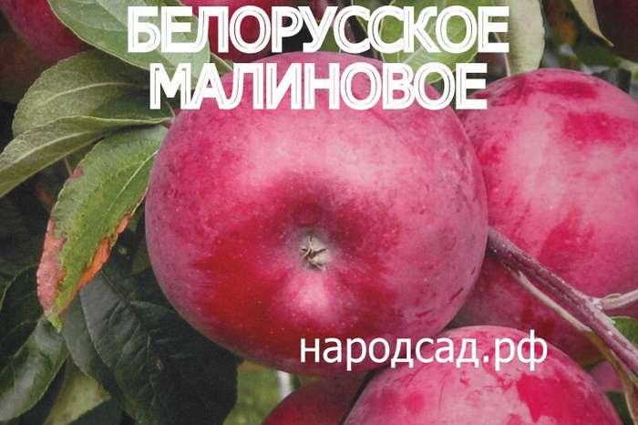 СОРТ ЯБЛОК БЕЛОРУССКОЕ МАЛИНОВОЕ - описание, фото
