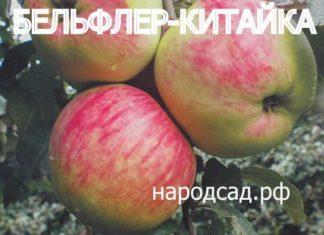 СОРТ ЯБЛОК БЕЛЬФЛЕР-КИТАЙКА - описание, фото